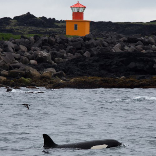 Öndverðarnes lighthouse and killer whale.